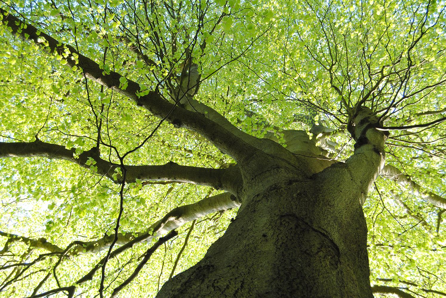Bøgtræ